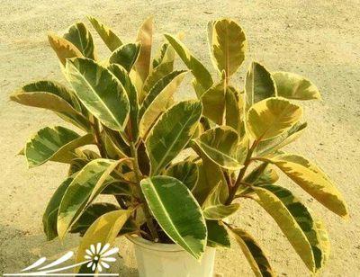 园艺百科 >> 信息正文    花叶橡皮树又名彩叶橡皮树.