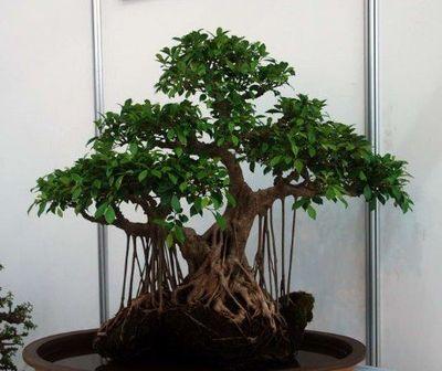 如何防治榕树盆景