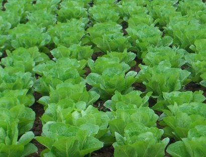 蔬菜蚜虫无公害防治的七种方法
