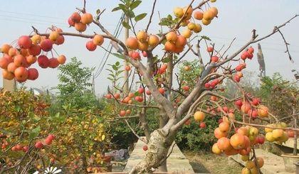 秋季应在盆栽果树秋梢停长以后,根系出现第三次生长高峰之前进行.