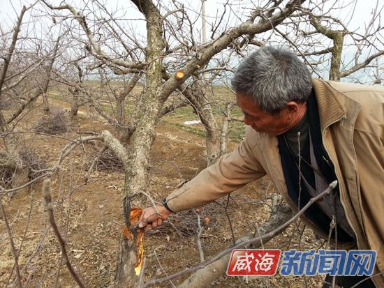 经区泊于镇崮庄村村民于秉福正在削除果树腐烂病变部分。   在泊于镇崮庄村村民于秉福的果园里,记者也看到了同样的情况。他表示,目前来看,果树的情况还可以,但是由于气温偏高,很容易造成果树开花偏早,如果再赶上霜期延迟,苹果花就有被打落的危险,产量也会大大减少。但他表示,等到清明就会喷施农药和化肥,增加果树的抵抗力。   而刘官屯村一位果树种植户则表示,冬天气温高,对果树的冬眠、开花和授粉都会产生影响,果树抵抗力下降,生长周期紊乱,甚至对苹果的外形和口感会产生一定影响,需要增施农药和化肥,防止病害持续。
