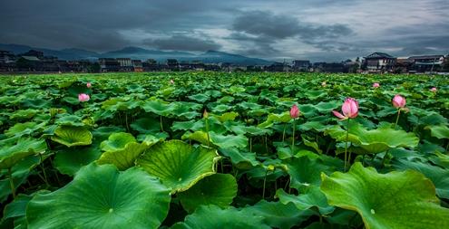 泸溪县浦市古镇,380多亩荷花开始含苞绽放,成为夏日一道亮丽的风景线.