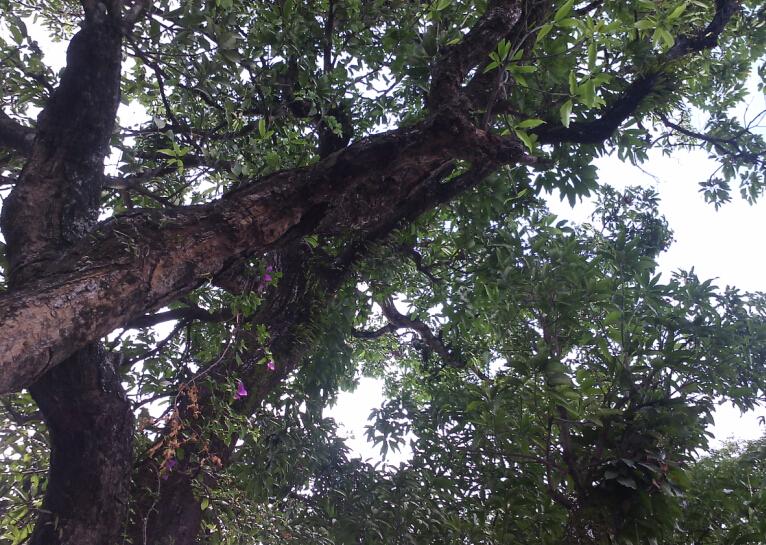 时下又到了孟定镇野生芒果成熟季节,野生芒果树枝头挂满了成熟的果实