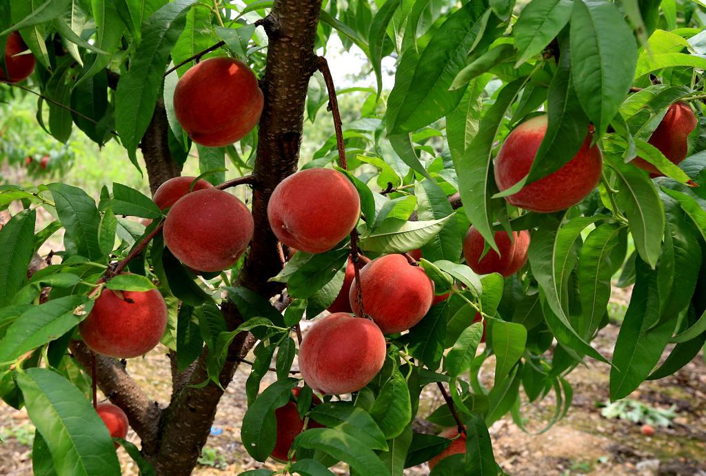 安徽西王镇:美国加州超红桃喜获丰收