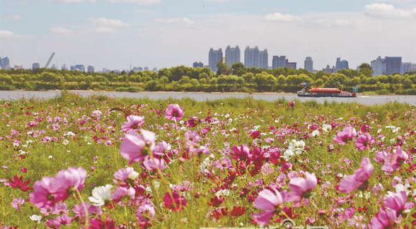 全国最大湿地哈尔滨太阳岛花田群花绽放