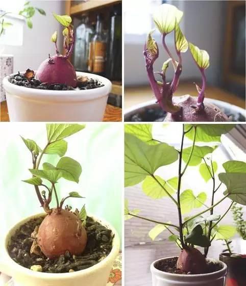 大豆生长过程简笔画