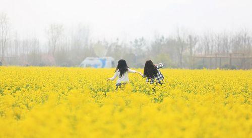 山东青岛西海岸百亩油菜花盛放