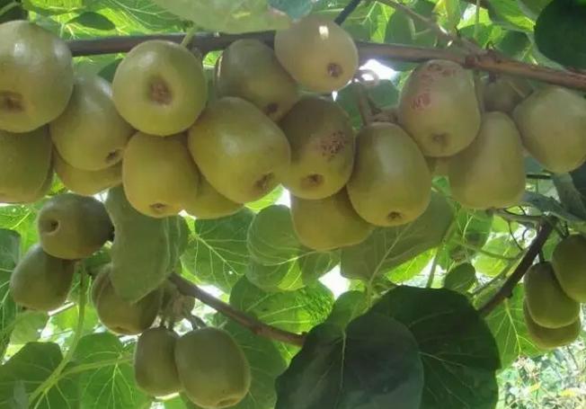问:猕猴桃黄化怎么治?