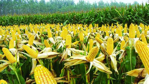 农业结构调整:减了玉米 增了啥?